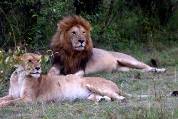 Löwen in der Masai Mara während einer Kenia Safari mit Keniaspezialist Keniaurlaub. de Reisekontor Schmidt Leipzig
