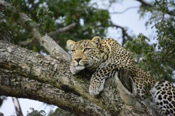 Leopard während einer Kenia Safari im Kenia Urlaub