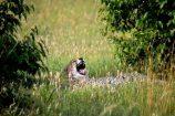 Gepard während einer Kenia Safari mit KeniaSpezialist Keniaurlaub.de Reisekontor Schmidt Leipzig