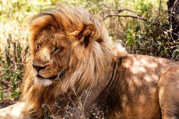 Löwe während einer Kenia Safari - gebucht über KeniaSpezailist keniaurlaub.de Reisekontor Schmidt Leipzig