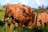 Elefanten während einer Kenia Safari mit KeniaSpezialist Keniaurlaub.de Reisekontor Schmidt Leipzig