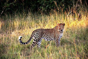 Leopard während einer Kenia Safari