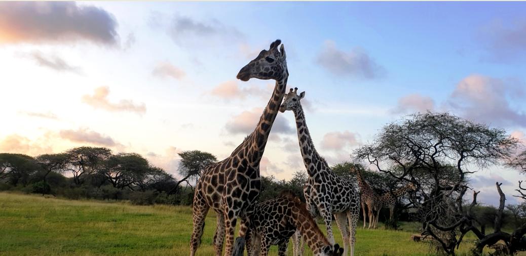 Giraffen hautnah während einer Safari in Kenia mit Keniaspezialist keniaurlaub.de Reisekontor Schmidt Leipzig