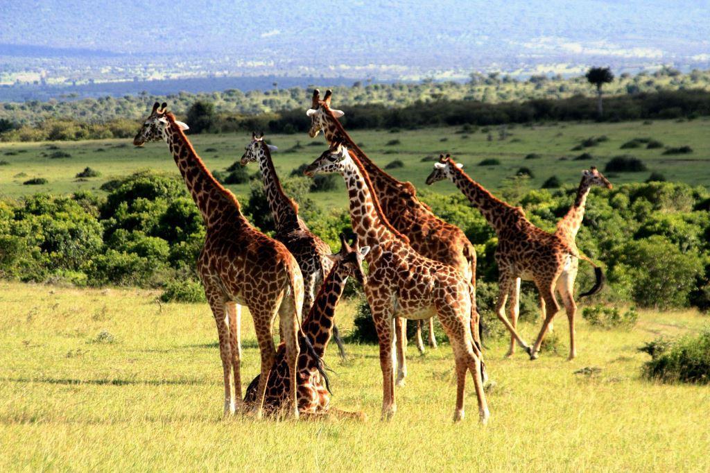 Giraffen in Kenia während einer Safari mit keniaurlaub.de KeniaSpezialist Reisekontor Schmidt Leipzig