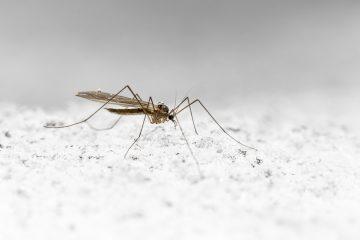 Malaria Mücke, Anopheles Mücke