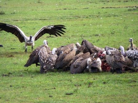 Geier beim Fressen in der Masai Mara