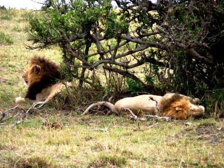 Löwen in der Masai Mara während der Großen Tierwanderung / Great Migration