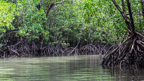 Mangroven in Kenia