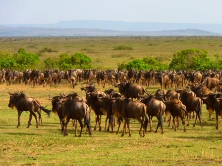 Tierwanderung in der Masai Mara - Gnuherde