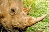 Nashorn in Kenia