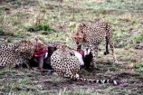 Geparden beim Fressen während einer Kenia Safari beobachtet