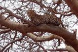 Leopard während einer Kenia Safari Tour